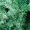 Χριστουγεννιάτικο δέντρο ELATI τύπου Πεύκου, 2,10μ